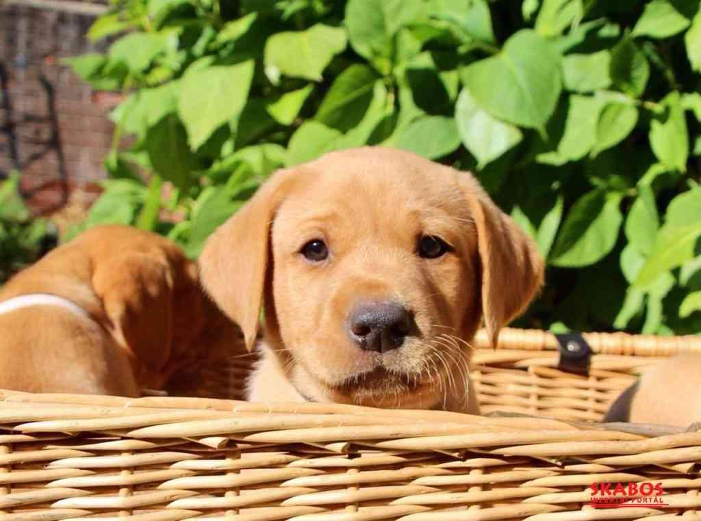 milující labrador připraven k adopci. (1/3)