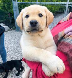 milující labrador připraven k adopci. (1634107404/3)