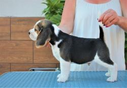 Pěkná štěňátka Beagle na prodej. (1634107653/4)