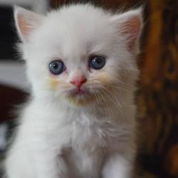 Krásná mužská a ženská perská koťátka připravená k