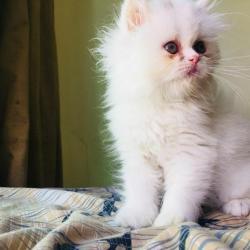 Krásná mužská a ženská perská koťátka připravená k (1634216481/3)