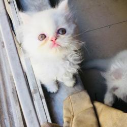 Krásná mužská a ženská perská koťátka připravená k (1634216528/3)