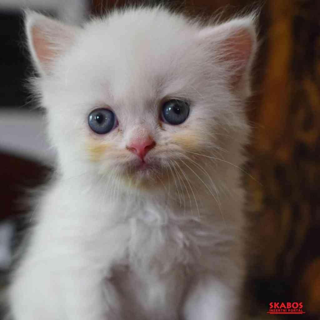 Krásná mužská a ženská perská koťátka připravená k (1/3)